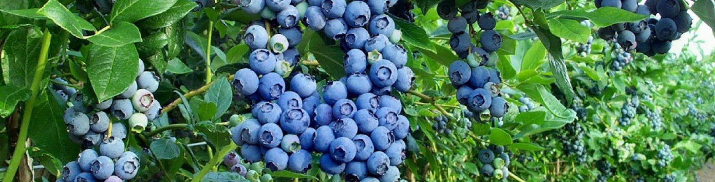 exterior-help-blueberry-plants-bushes-with-fruit-are-numerous-and-clustered-in-the-garden-surrounded-by-wire-i-wish-my-blueberry-plants-could-be-into-a-beautiful-plant-duke